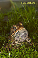 FR11-539z  American Toad Male singing for mate, Bufo americanus or Anaxyrus americanus