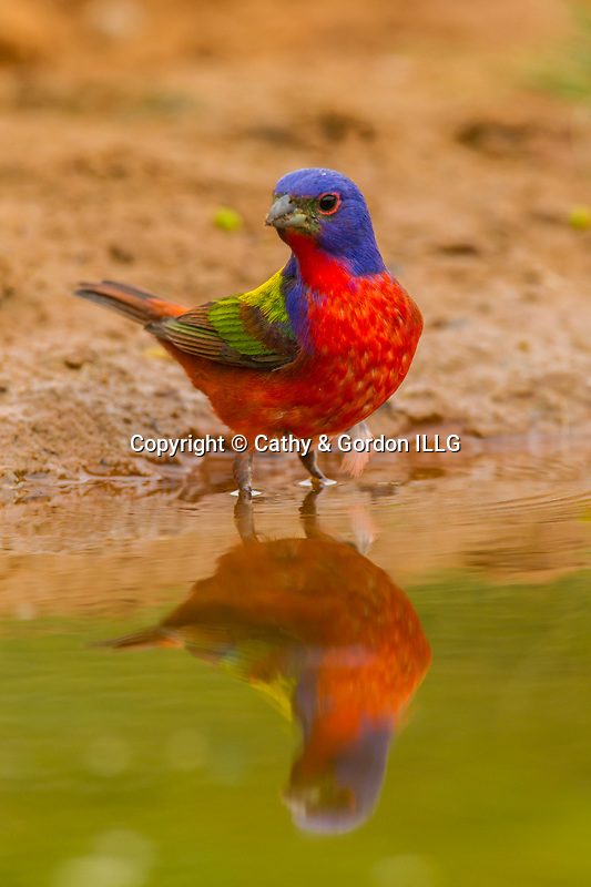 North America, USA, Texas, Hidalgo County, male painted bunting and reflection.