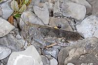 Gefleckte Schnarrschrecke, Bryodemella tuberculata, Bryodema tuberculata, Speckled Buzzing Grasshopper, Speckled Grasshopper