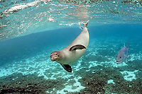 Hawaiian monk seal, ilioholokauaua, Neomonachus schauinslandi, endangered, with trevally, ulua, Caranx ignobilis, Kure Atoll, Papahanaumokuakea Marine National Monument, Northwestern Hawaiian Islands, Hawaii, USA, Pacific Ocean