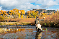 A trout fisherman battles a brown on a small stream north of Belgrade, Montana.