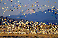 Snow geese during early spring migration.  Lower Klamath National Wildlife Refuge, California-Oregon.