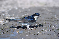 Common House Martin (Delicon urbica), adult collecting mud for nest, Switzerland