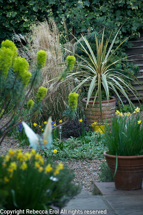 Small dry gravel garden in the springtime in London, UK. Plants include Cordyline 'Torbay Dazzler', Miscanthus 'Undine', Euphorbia characias wulfenii and Narcissus 'Tete a tete'