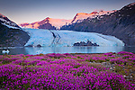Scenic view of Portage Glacier with icebergs at dawn. Byron Peak glows in magenta. Fireweed flowers in the foreground. Chugach National Forest, Kenai Peninsula, Southcentral Alaska, Summer.