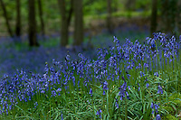 A close-up of native bluebells in an English woodland