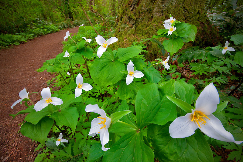 Close up of Western Trillium (trillium ovatum) and trail. Tryon Creek State Park, Oregon