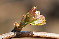 bud burst on the vine and counter-bud contre-bourgeon ch moulin du cadet saint emilion bordeaux france