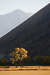 Jobs Peak, colorful orange and golden cottonwood tree in the Carson Valley of Nevada, autumn
