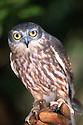 Boobook Owl on keeper's glove. Territory Wildlife Park, Darwin, Northern Territory