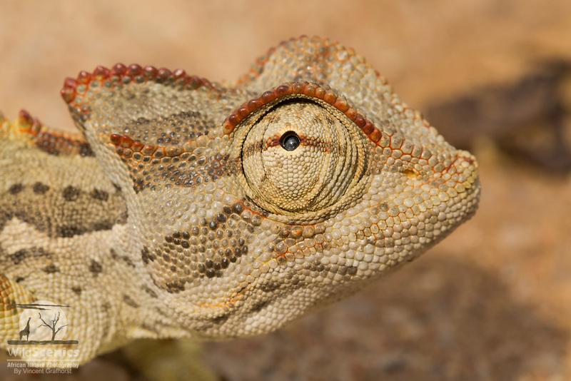 Namaqua Chameleon in its Namib coastal desert habitat.