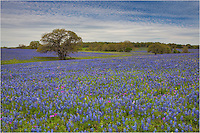 East of San Antonio there is a stretch of roads that often hold wonderful fields of bluebonnets. The wildflowers in this Texas image come from that area in the spring of 2014. Both prints and digital files are available.