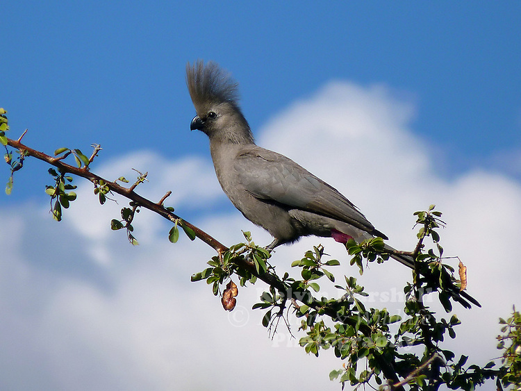 """The Grey Go-away-bird (Corythaixoides concolor), also known as Grey Lourie, Grey Loerie, or Kwêvoël, is a southern African bird of uniform grey with black beak and strikingly pink gape. It is widespread in savanna woodland, a clumsy flier though extremely agile in clambering through tree crowns. It has a distinctive loud alarm call """"quare"""", fancifully sounding like """"Go-away"""". The crest is raised when excited."""