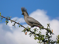 "The Grey Go-away-bird (Corythaixoides concolor), also known as Grey Lourie, Grey Loerie, or Kwêvoël, is a southern African bird of uniform grey with black beak and strikingly pink gape. It is widespread in savanna woodland, a clumsy flier though extremely agile in clambering through tree crowns. It has a distinctive loud alarm call ""quare"", fancifully sounding like ""Go-away"". The crest is raised when excited."