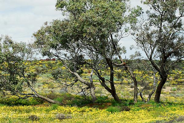 Greening of the outback, wildflowers, result of heavy spring rains, Strzelecki Track, South Australia