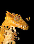 Captive Crested Gecko