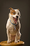 Emma. Jack Russell terrier. Age 5 female. Yawning.
