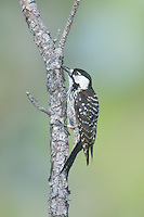 A Red-cockaded Woodpecker (Picoides borealis) with leg bands, Babcock-Webb WMA, Charlotte County, Florida