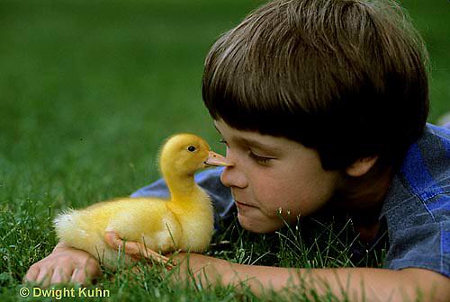DG12-026x  Pekin Duck -ten day old duckling with boy