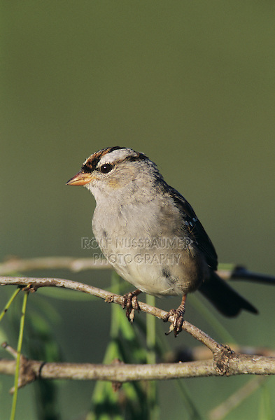 White-crowned Sparrow, Zonotrichia leucophrys, immature, Welder Wildlife Refuge, Sinton, Texas, USA, April 2005