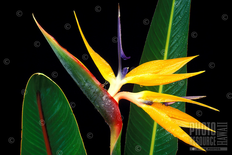 A bird of paradise (strelitzia reginae) flower and two leaves against a black background