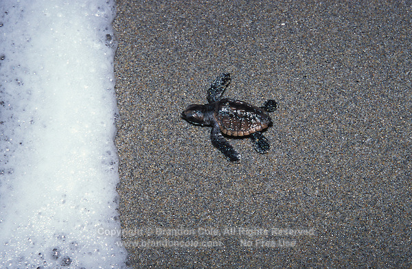 na863. Loggerhead Sea Turtle hatchling (Caretta caretta). Florida, USA, Atlantic Ocean..Photo Copyright © Brandon Cole. All rights reserved worldwide.  www.brandoncole.com..This photo is NOT free. It is NOT in the public domain. This photo is a Copyrighted Work, registered with the US Copyright Office. .Rights to reproduction of photograph granted only upon payment in full of agreed upon licensing fee. Any use of this photo prior to such payment is an infringement of copyright and punishable by fines up to  $150,000 USD...Brandon Cole.MARINE PHOTOGRAPHY.http://www.brandoncole.com.email: brandoncole@msn.com.4917 N. Boeing Rd..Spokane Valley, WA  99206  USA.tel: 509-535-3489