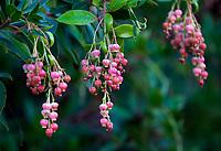 Arbutus 'Marina' flower clusters in California native plant garden; Vincent Garden