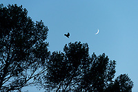 Crescent moon, tree and a crow, Aug. 24, 2017.<br /> (Photo by Marc Campos, Occidental College Photographer)