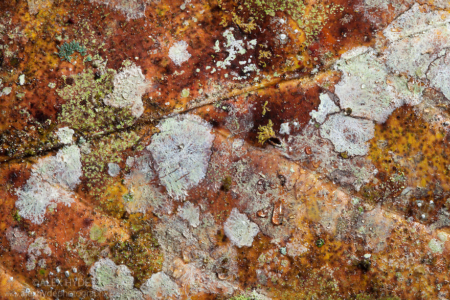 Close-up of decaying leaf from rainforest floor, showing lichens and moulds. Danum Valley, Sabah, Borneo, Malaysia.