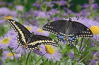 Eastern Black Swallowtail Butterfly (Papilio polyxenes asterius) male (left) and female amid fleabane flowers ( Erigeron speciosus 'Azure Fairy') in backyard garden. Summer. Nova Scotia, Canada.
