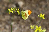 Gelber Aurorafalter, Anthocharis belia, Anthocharis eupheno, Anthocaris euphenoides, Moroccan Orange Tip, Provence Orange Tip, L'Aurore de Barbarie, l'Aurore de Provence
