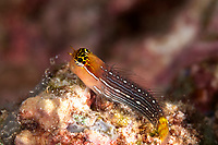 Pictus Blenny, Ecsenius pictus, Uhak Reef dive site, Uhak Village, Wetar Island, near Alor, Indonesia, Banda Sea, Pacific Ocean
