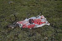 wild reindeer after hunting