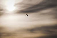 A tern flies over a background of clouds and the sun.