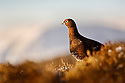 Red Grouse {Lagopus lagopus scoticus} in Heather with snow-covered hillside behind, December, Peak District National Park, Derbyshire, UK.