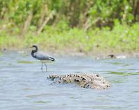 American crocodile, Crocodylus acutus, swimming in the Tarcoles River, Costa Rica.  Behind it is a little blue heron, Egretta caerulea.