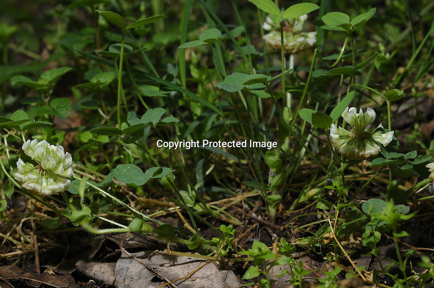 This clover I found in Woodford County in April of 2010.  I returned to photograph it to submit to the experts for identification confirmation. I thought it was Trifolium reflexum, buffalo clover.  A botanist at the time Daniel Boone confirmed it to be buffalo clover, but noted some growth differences.  Samples were submitted to Dr. Michael Vincent of Miami University for genetic confirmation.  It was determined last week that this is indeed a native species of clover unknown to science.