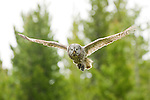 A great gray owl in flight in Grand Teton National Park, Wyoming.