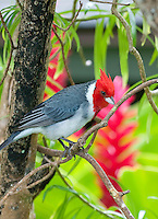 Red-Crested Cardinal (Paroaria coronata),  common red-headed bird,  Kauai, Hawaii