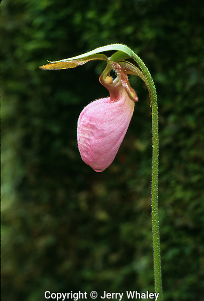 Pink Lady's-Slipper, Great Smoky Mountains National Park, TN