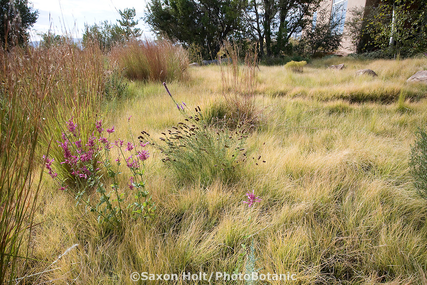 Little Bluestem (Schizachyrium scoparium) bunch grass edging a Buffalo grass (Buchloe dactyloides) naturalistic, sustainable, xeriscape lawn meadow with native New Mexico wildflowers, garden  design by Judith Phillips