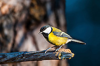 The Great Tit is a widespread and common species throughout Europe, the Middle East, Central and Northern Asia, and parts of North Africa.