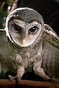 Southern Sooty Owl (Tyto tenebricosa) female, from Coolangatta, Qld