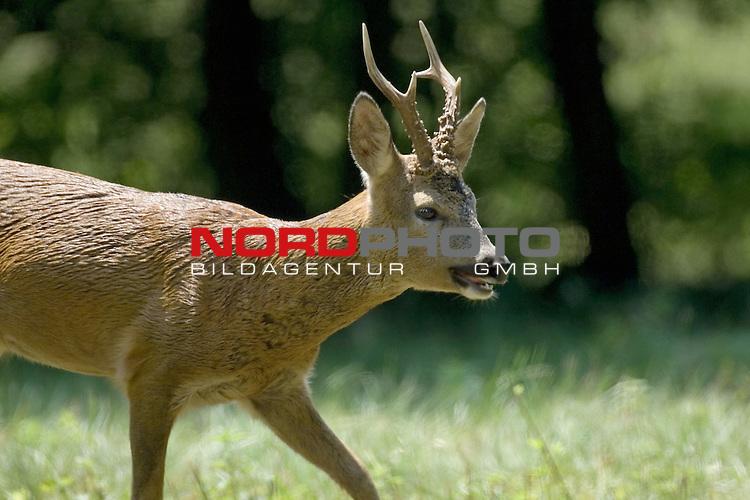 Reh, (lat. capreolus capreolus), Rehbock, Jagd, Saeugetier, im Sommerhaar, im Wald, Blattzeit, <br /> <br /> Foto: nordphoto *** Local Caption *** Original Naturfoto - hŲhere AuflŲsung auf Anfrage - Dig. Foto