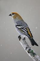 Pine Grosbeak - Pinicola enucleator - female