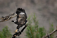 Common Black Hawk take-off, Big Bend National Park