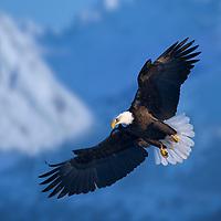 DIGITAL COMPOSITE (sky added) Bald Eagle spreads wings while flying through the Kenai mountains near Homer, Alaska.