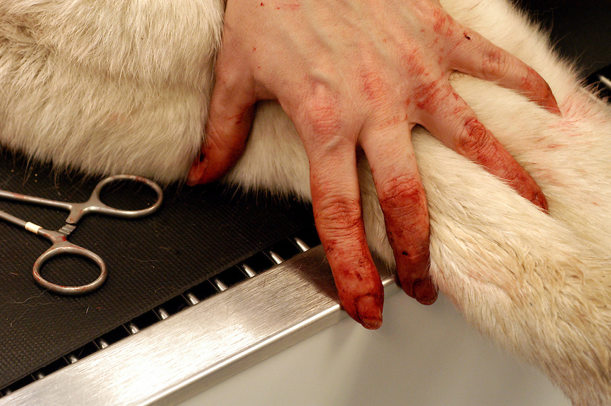 Lynda Vermillion holds down Wickit, owned by Sarah Tilton of Sanbornton, with hands bloodied from pulling porcupine quills out of his body. Because of the differences in human and dog blood, there is only a low risk of disease transmission and gloves are optional during most veterinary procedures.
