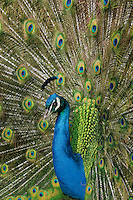 Male Peacock or Indian Peafowl (Pavo cristatus) displaying.
