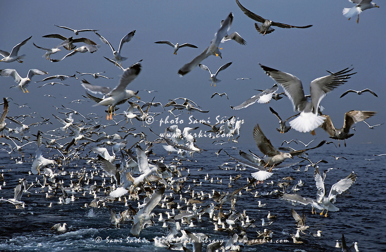 Flock of seagulls in the sea and in flight, Marseille, France.